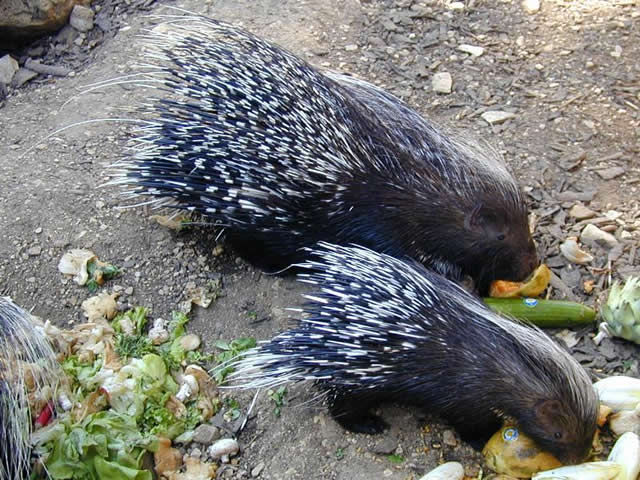 porcupine eating habits